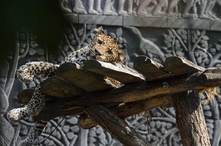 Pelangi in siesta - Javaanse panter - foto door Christa66 op 08-04-2021 - deze foto bevat: panter, javaanse panter, luipaard, katachtingen, dier, dierenpark, hout, takje, reptiel, kunst, terrestrische dieren, felidae, grote katten, beeldhouwwerk, metaal, kofferbak