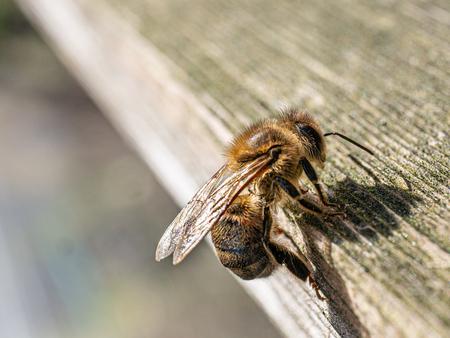 Een bij van dichtbij - Langs een imkerij geweest om het proces van de honing en de bij vast te leggen.  - foto door Larissag op 11-04-2021 - locatie: Wijdewormer, Nederland - deze foto bevat: honing, bij, bijen, macro, bloemen, imker, imkerij, natuur, nederland, zomer, nectar, bestuiver, insect, oog, geleedpotigen, menselijk lichaam, hout, plaag, vleugel, terrestrische dieren, fabriek