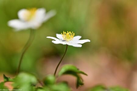 Spring Dance - Bosanemoontjes in het zonnetje in het bos. Ook blij met de mooie lentedagen  die er al zijn geweest, vrolijk dansend in het bos. En deze twee houden  - foto door thirzaniemantsverdriet op 11-04-2021 - deze foto bevat: bloem, fabriek, bloemblaadje, blad, vegetatie, gras, kruidachtige plant, bloeiende plant, pedicel, detailopname