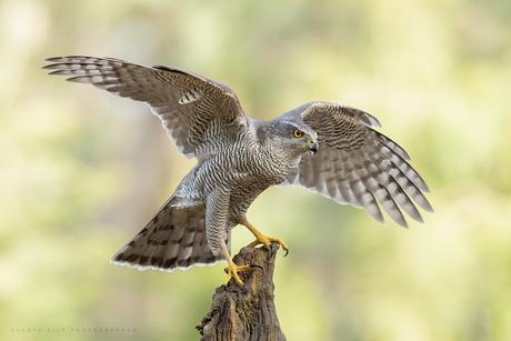 Havik met gespreide vleugels