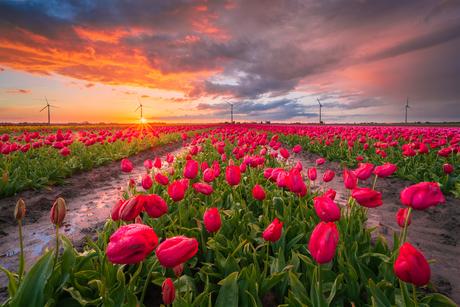Een knallen lucht boven de laatste tulpen
