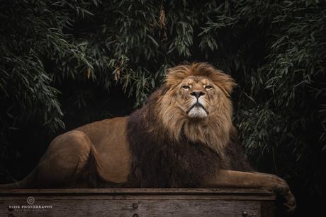 Leeuw Simba in Landgoed Hoenderdaell tussen de bladeren