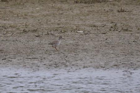 Tureluur - Camouflagekleur - foto door Ebben op 11-04-2021 - deze foto bevat: water, vogel, meer, bek, strandloper, gras, veer, dowitcher, watervogels, zeevogel