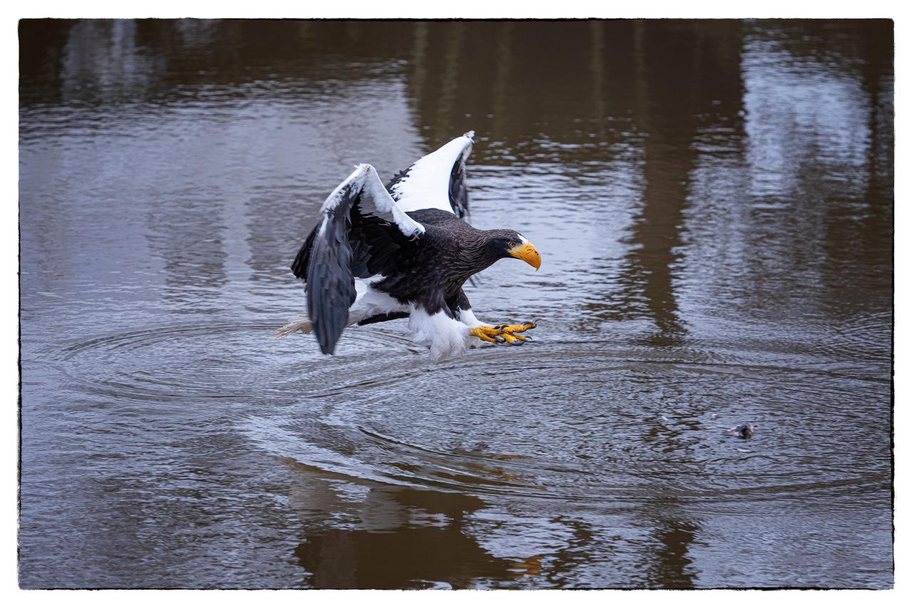Stellers Zeearend - Stellers Zeearend zet in voor landing om prooi te pakken - foto door Hans Menninga op 10-04-2021 - deze foto bevat: roofvogel, stellers zeearend, water, vogel, bek, meer, watervogels, eenden, ganzen en zwanen, vleugel, zeevogel, staart, goud