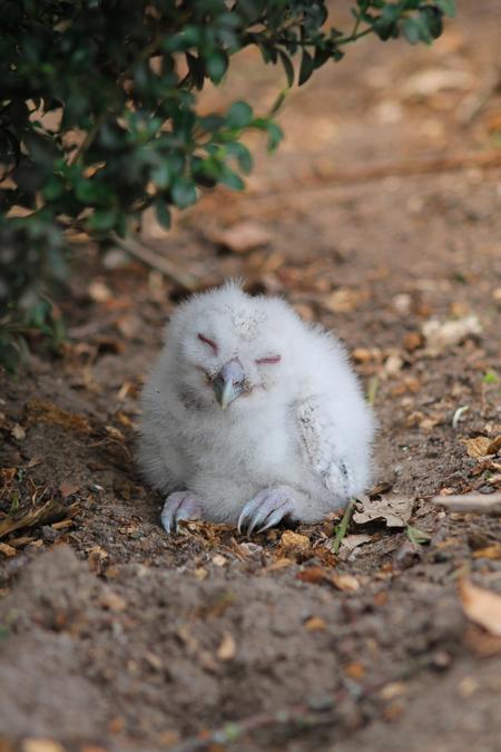Uilskuikentje - Dit pasgeboren uiltje is uit zijn nest gevallen. Hij lijkt erg tevreden maar we hebben hem toch netjes weer terug gezet bij zijn moeder en mede uilsk - foto door LoesOtten op 10-04-2021 - locatie: 5761 Bakel, Nederland - deze foto bevat: uil, uilskuiken, jonge uil, wit, dieren, vogelfotografie, broedseizoen, uiltje, nest, uilsnest, fabriek, gras, fawn, snuit, terrestrische dieren, primaat, vacht, staart, bakkebaarden, bodem