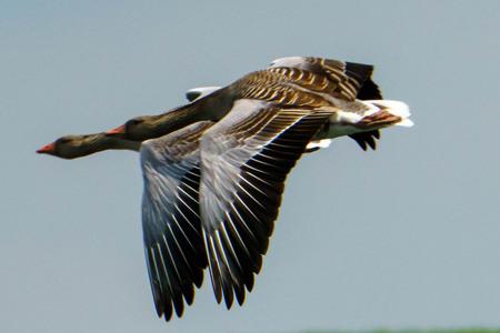 Goose - Synchronisatie - foto door Pckohler op 04-05-2021 - deze foto bevat: vogel, lucht, bek, veer, vleugel, bruine pelikaan, watervogels, eenden, ganzen en zwanen, pelecaniformes, staart