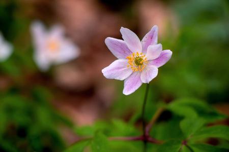 Beauty - nog maar een foto van de bosanemoontjes - foto door PNCO op 15-04-2021 - deze foto bevat: bosanemoon, bloem, bos, bodembedekker, paars, kleurrijk, bloem, fabriek, bloemblaadje, terrestrische plant, pedicel, detailopname, gras, rosa palustris, bloeiende plant, macrofotografie