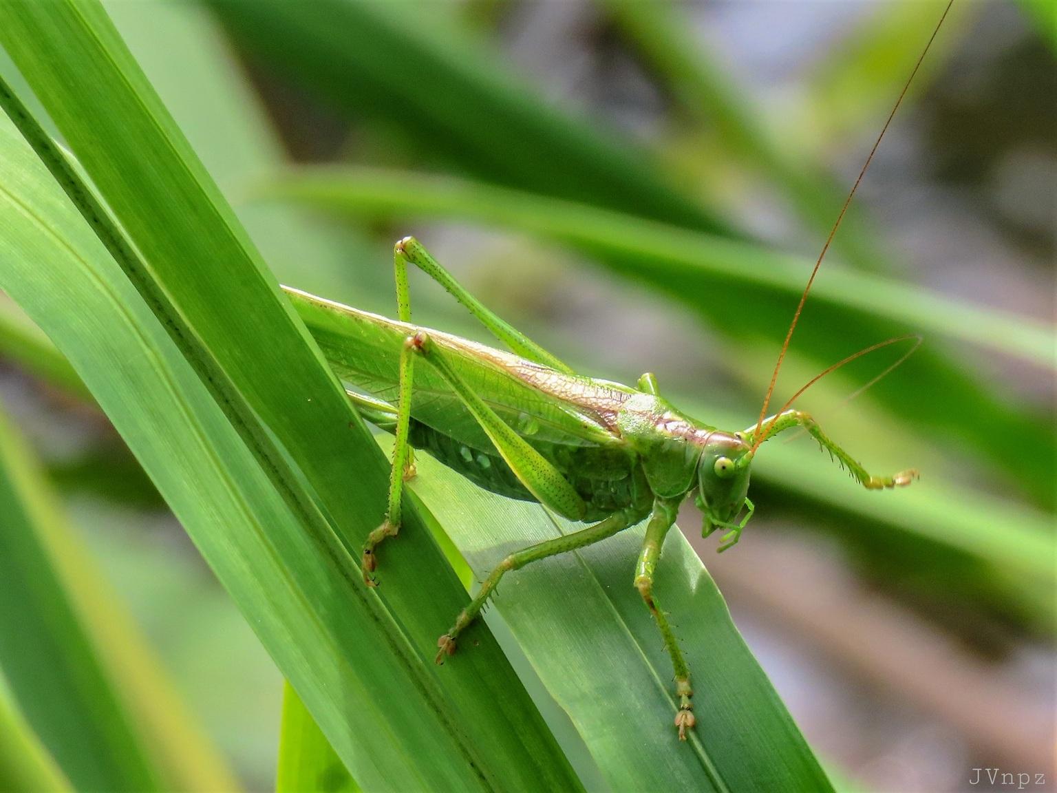 Grote Groene Sabelsprinkhaan - Deze Grote Groene Sabelsprinkhaan kan zingen met een harde scherpe ratel. - foto door Vissernpz op 12-04-2021 - locatie: Assen, Nederland - deze foto bevat: insect, sprinkhaan, groen, groot, fabriek, insect, oog, geleedpotigen, terrestrische plant, gras, plaag, cricket, grass familie, terrestrische dieren