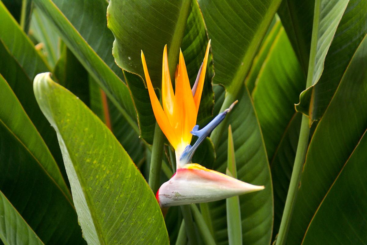 Kiekeboe - Plant als vogel - foto door Erik-54 op 15-04-2021 - deze foto bevat: plant, fun, vakantie, snuit, bloem, paradijsvogel, fabriek, zingiberales, bloemblaadje, blad, vegetatie, terrestrische plant, bloeiende plant, detailopname