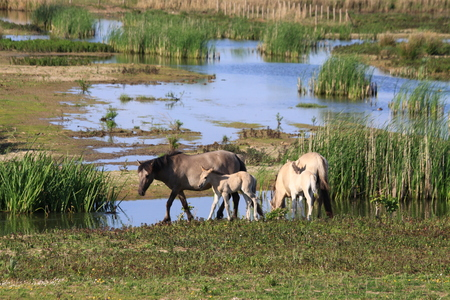 konikspaardjes - gevarieerd landschap voor deze paardjes - foto door TMQ op 15-04-2021 - locatie: Loevestein 1, 5307 TG Poederoijen, Nederland - deze foto bevat: konikspaarden, landschap, water, fabriek, gewervelde, fluviatiele landvormen van beken, natuurlijk landschap, werkend dier, meer, grasland, gras, grazen