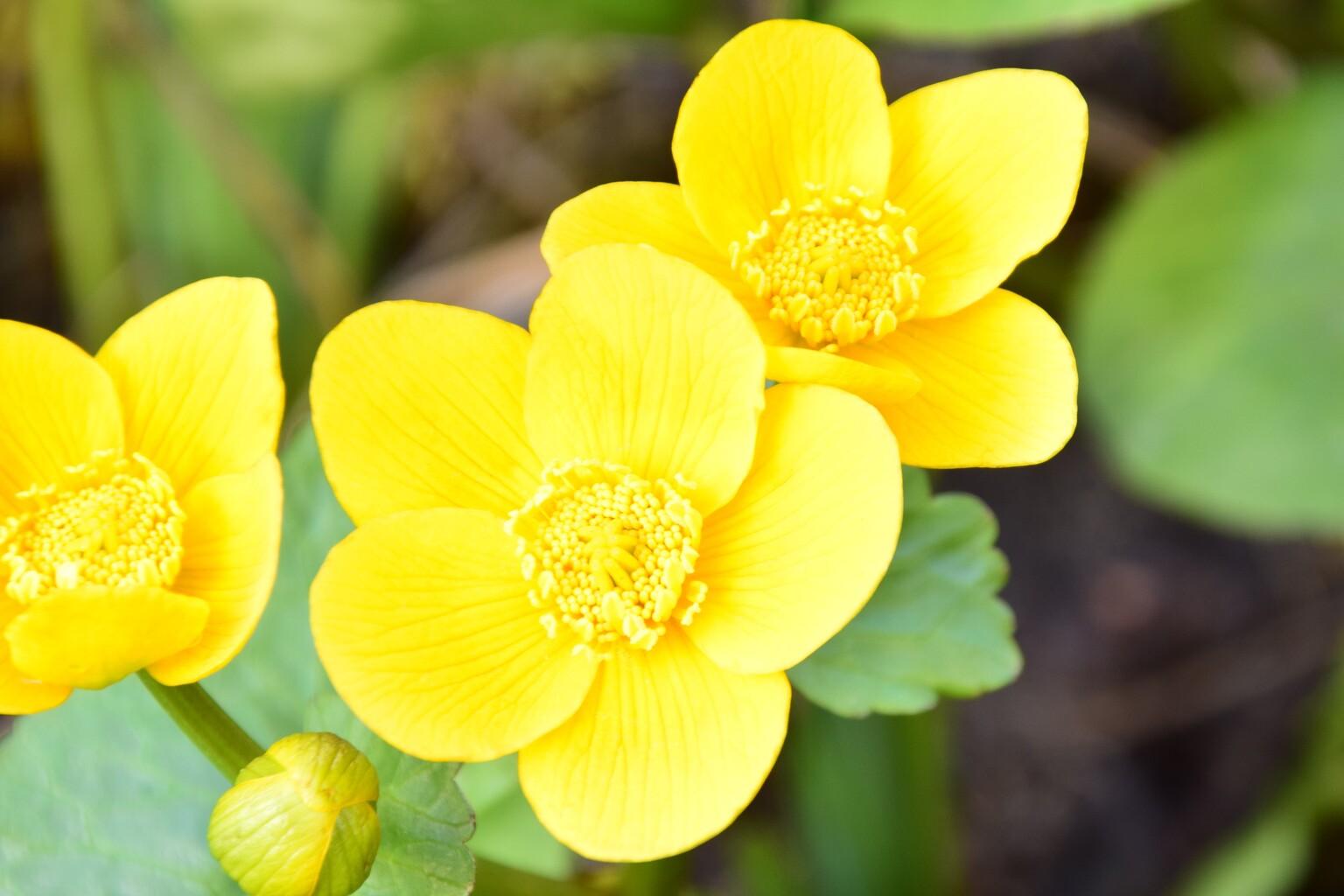 Dotterbloem - in mijn tuin - foto door riggs1969 op 12-04-2021 - locatie: 1777 Hippolytushoef, Nederland - deze foto bevat: bloem, fabriek, bloemblaadje, bloeiende plant, bodembedekker, detailopname, eenjarige plant, kruidachtige plant, rose familie, terrestrische plant