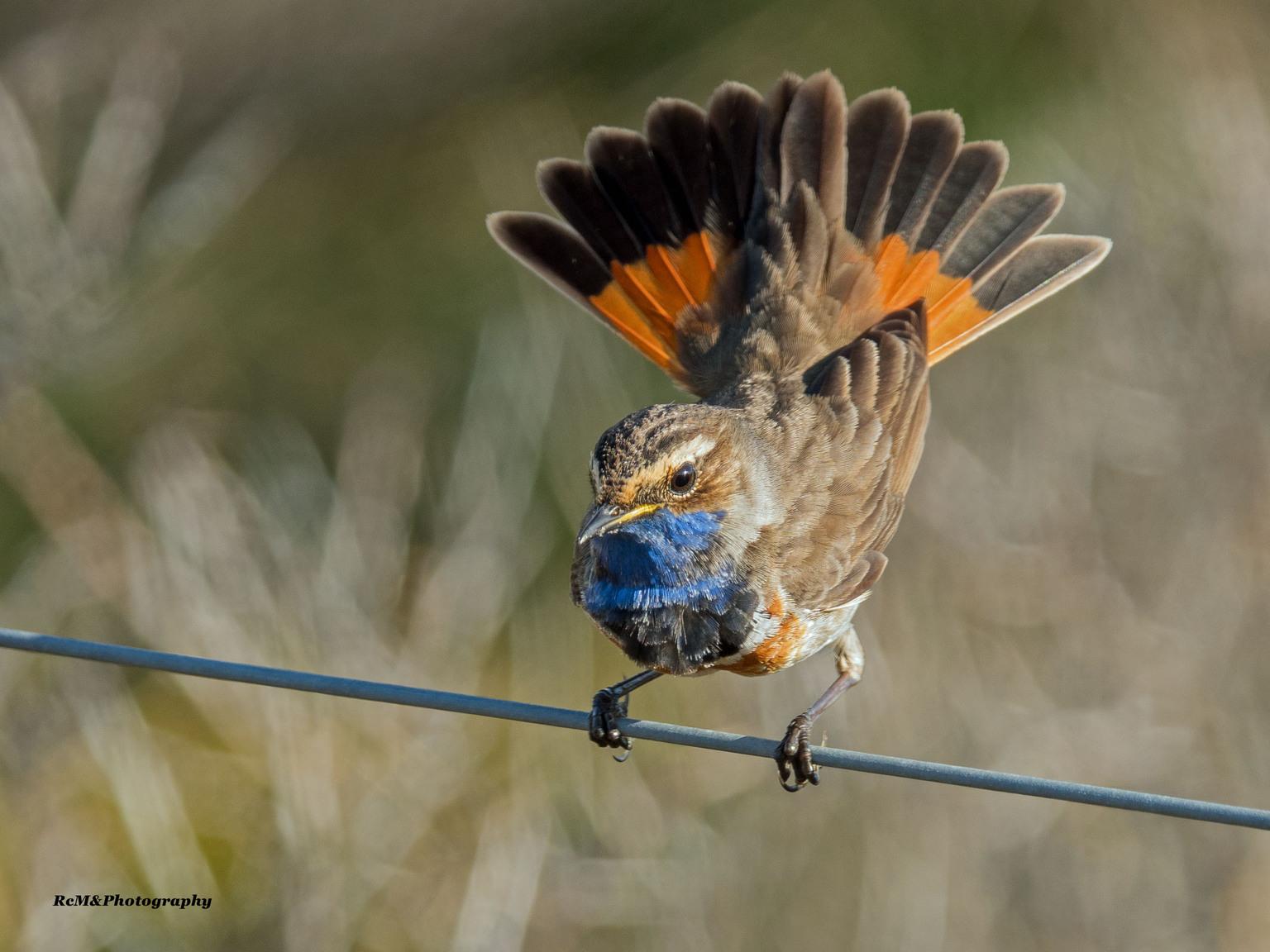 Blauwborst. - De blauwborst op ze mooist!. - foto door Robert-Moeliker op 17-04-2021 - locatie: Zeeweg 31, 1901 NZ Castricum, Nederland - deze foto bevat: wildlife, natuur, vogel, bokeh, organisme, bek, bestuiver, bloem, terrestrische dieren, veer, vleugel, zangvogel, elektrisch blauw, vogel