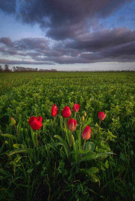 Rood boeket van tulpen bij zonsondergang