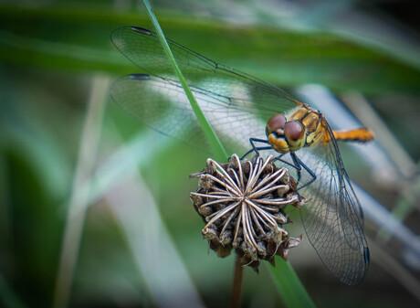 Heidelibelle