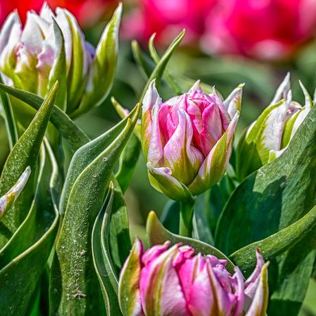 Bontgekleurde tulpen